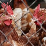 The UAE is currently restricting poultry imports from the Philippines.