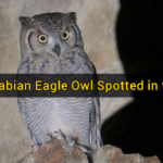 First Arabian Eagle Owl Spotted in the UAE