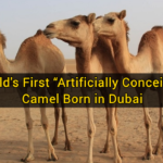 "World's First ""Artificially Conceived"" Camel Born in Dubai"