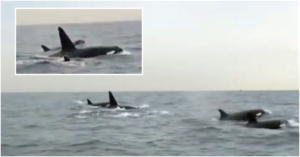 WATCH Killer Whales Spotted in UAE Waters After 10 Years