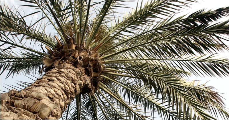 UAE Space Agency Explores the Possibility of Farming Palm Trees on Mars
